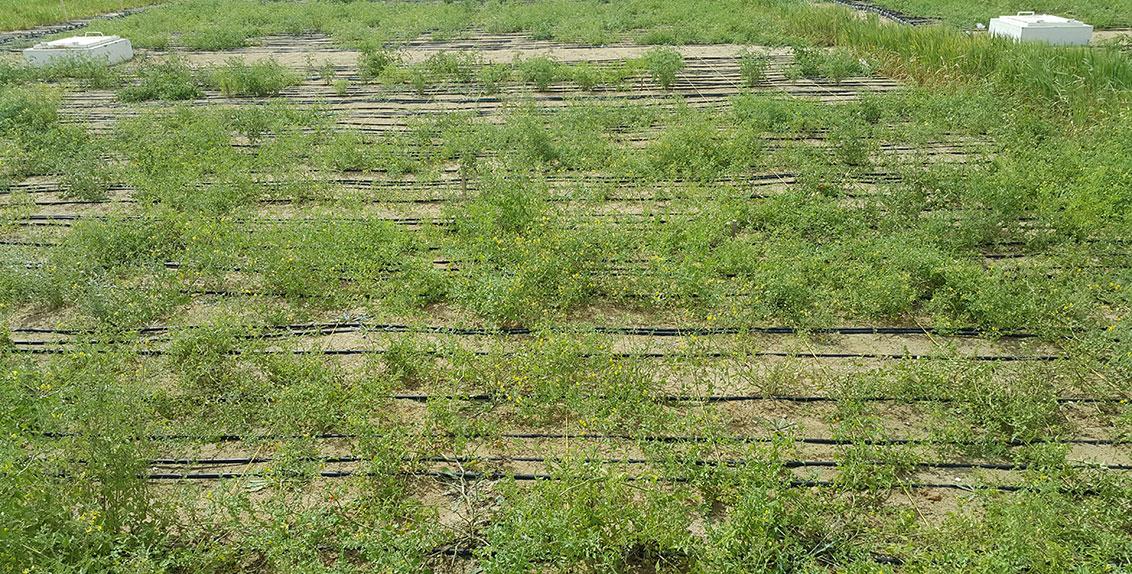 كما تعرض البيانات المظهرية التي تمخضت عن إحدى التجارب الموسعة التي أجريت في إكبا بدبي، في دولة الإمارات العربية المتحدة، خلال الفترة 2015-2016 على 214 نوعاً للطماطم البرية و13 نوعاً للطماطم المزروعة مستوى تحمل أكبر للملوحة بالنسبة للصفات المتعلقة بالثمار والغلة في Solanum pimpinellifolium قياساً بالطماطم المزروعة.