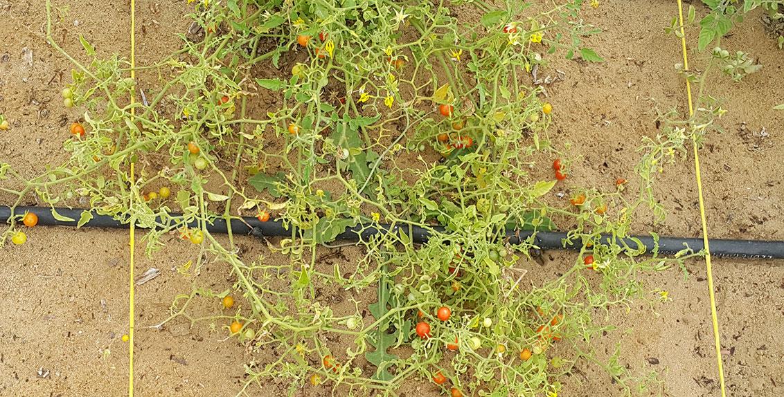 وتعرض الدراسة التي نشرت في مجلة Frontiers in Plant Science مجموعة المجينات وشرحاً لأحد الأنواع البرية (Solanum pimpinellifolium) القريبة للطماطم المزروعة.