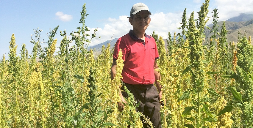 Azamat Kaseev is one of several pioneer farmers in Kyrgyzstan with whom ICBA works to introduce quinoa. On his farm in eastern Issyk Region, he grows for seed one of ICBA's high-yielding and stress-tolerant quinoa lines.