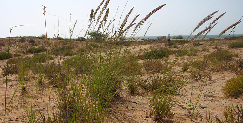 Halfa grass was last spotted by scientists during their expedition to the coastal areas of Ras al-Khaimah in 2007.