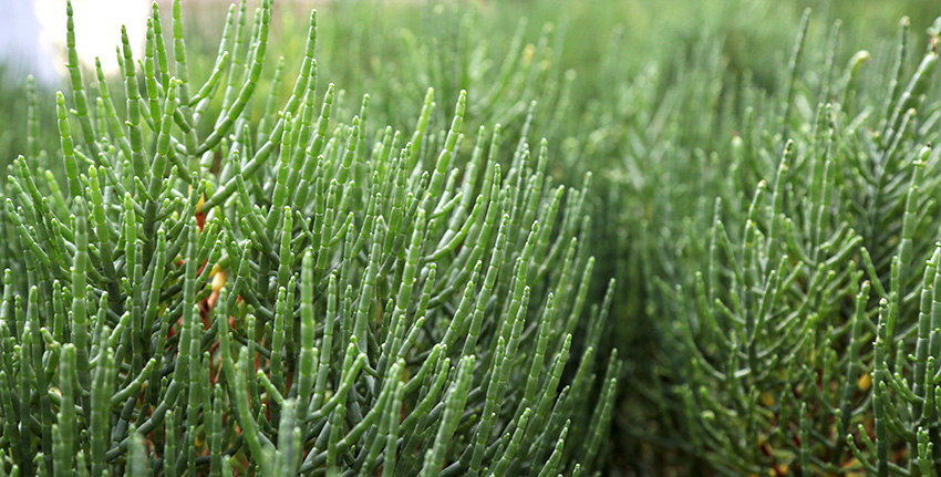 Salicornia is a halophytic crop with multiple uses. It can be irrigated with highly saline water and be used as a vegetable, forage and biofuel crop.