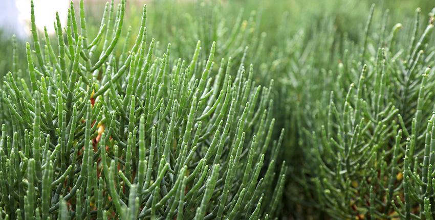 نبات الساليكورنيا هو نبات ملحي يستخدم لأغراض متعددة يمكن ريه بالمياه مرتفعة الملوحة ويستخدم كغذاء ومصدر للعلف والوقود الحيوي.