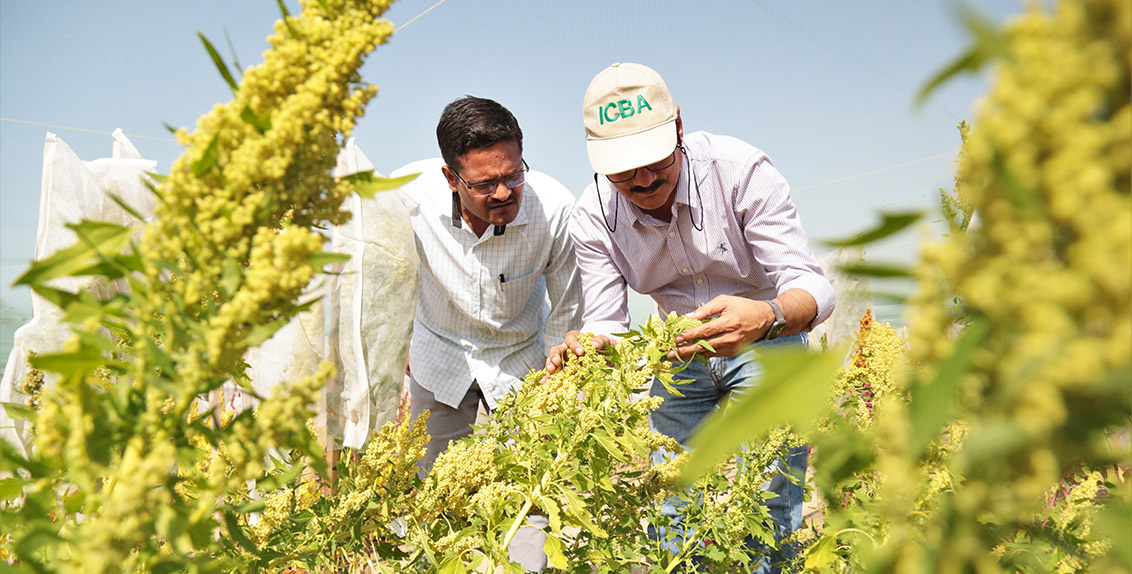 The project aims to ultimately breed high-yielding early-maturing (90-100 days) quinoa varieties with high levels of abiotic (salinity, drought, and heat) tolerance for marginal areas; as well as develop associated best management practices and optimum post-harvest management practices.