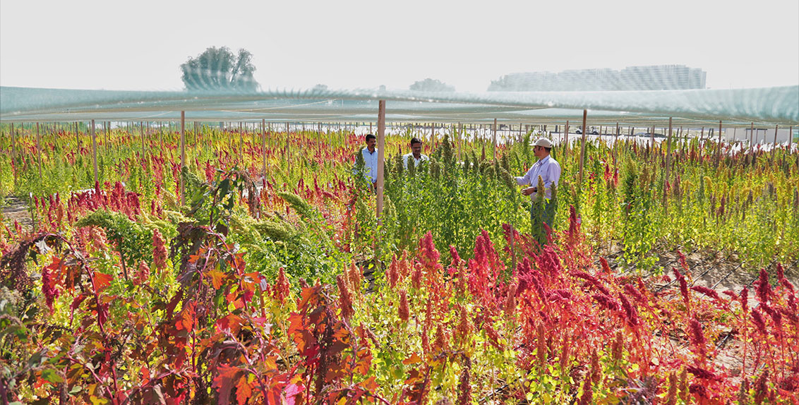 As part of GWAS, scientists have begun analyzing 190 genotypes of quinoa at ICBA's research station in Dubai, the UAE, for different traits like tolerance to different levels of salinity; flowering duration; plant height; panicle length; branching; days to maturity; seed yield; seed weight; and seed saponin.