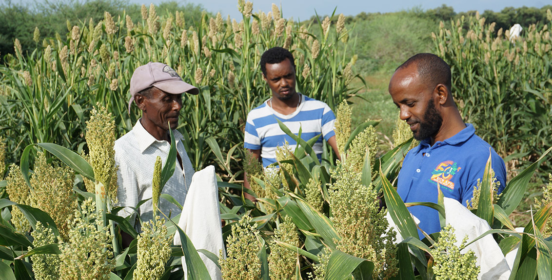 In order to reclaim salt-affected areas, the project is introducing salt-tolerant varieties of sorghum, pearl millet, cowpea, barley and sesbania to small-scale farmers.