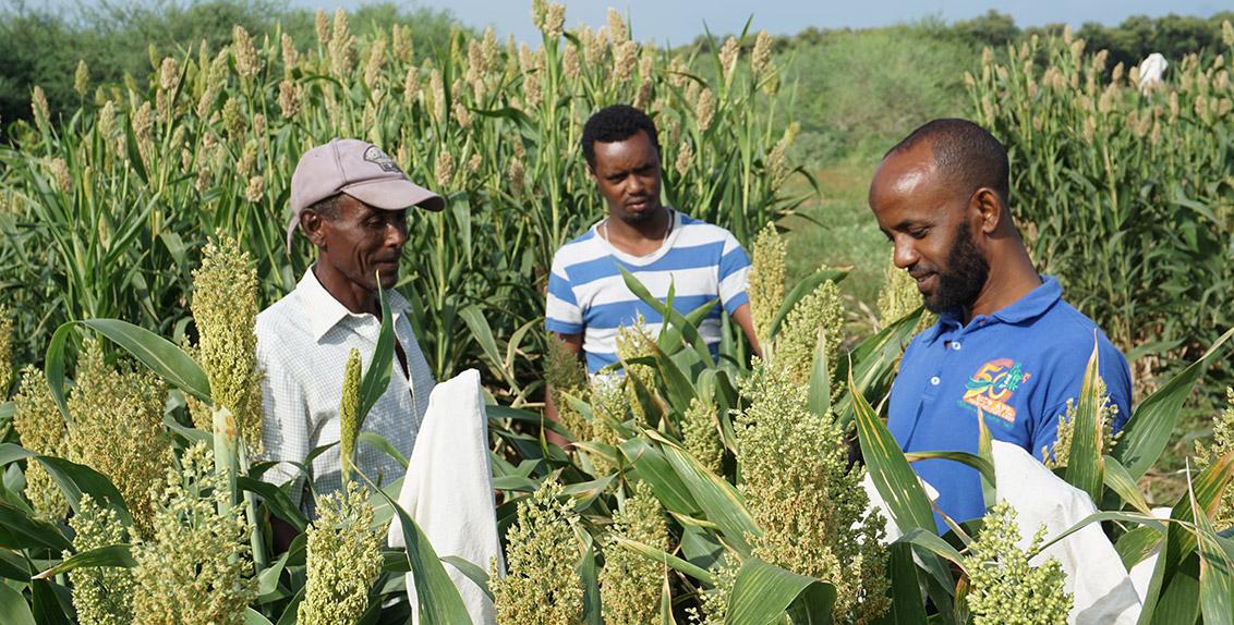 هذا وسعياً إلى استصلاح الأراضي المتأثرة بالملوحة، يقوم المشروع بإدخال أصناف مختلفة متحملة للملوحة لمحاصيل الذرة الرفيعة والدخن اللؤلؤي واللوبياء والشعير والسيسبان لصالح صغار المزارعين.