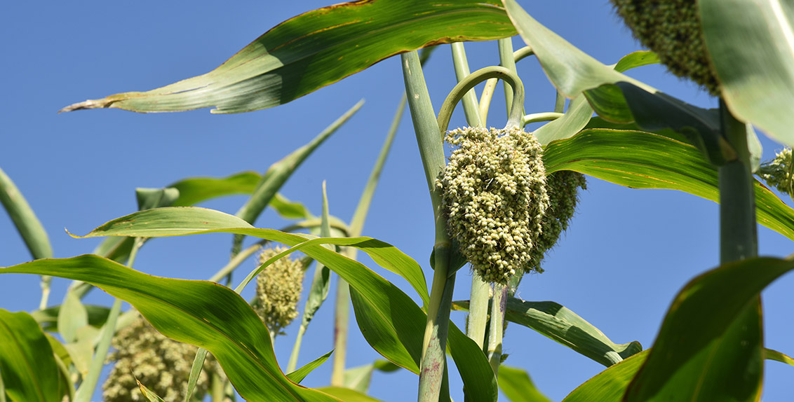 With a plant height of 3–4 m, the crop forms up to 15 compact panicles on one multi-stem plant. Each panicle contains 1,000-3,000 grains of white, yellow, red or dark color. In April and early May, pearl millet is cultivated as the main crop. After the winter wheat harvest in mid-June and early July, it is also suitable for repeated cropping.