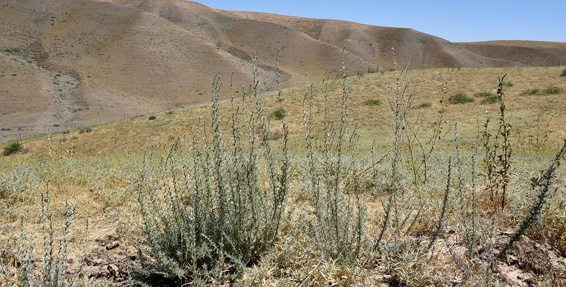 علف الكوخيا والمعروف أيضاً بفصة الصحراء هو مصدر علفي غني بالحريرات للأغنام والماعز والإبل على مدار العام.