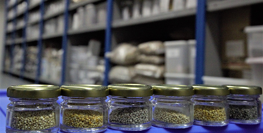 ICBA's gene bank stores over 14,000 accessions of around 240 salt-, drought- and heat-tolerant plant species from more than 150 countries and territories of the world.