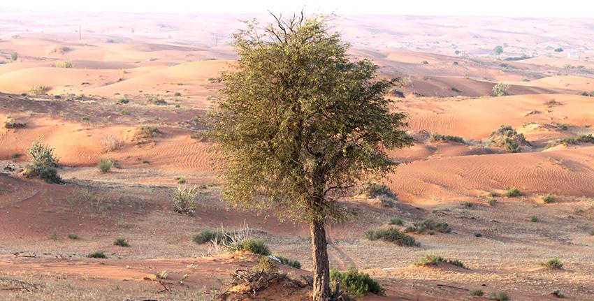 تبشر شجرة الغاف (Prosopis cineraria)، إحدى الأشجار المزهرة، بإمكانية كبيرة لمكافحة التصحر وتحسين خصوبة التربة في البيئات الهامشية، وذلك لما تتسم به من صفات فريدة وفقاً لما خلصت إليه الأبحاث طويلة الأجل التي أجراها المركز الدولي للزراعة الملحية (إكبا).