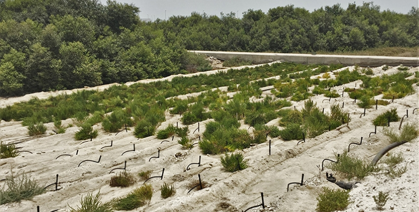 Salicornia experiments are under way at the Marine Environment Research Center in a coastal area of Umm Al Quwain, UAE.