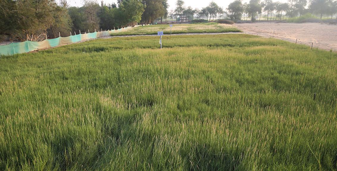 """ولعل من الطرق المؤكدة والمبشرة إلى حدّ كبير هو زراعة نباتات ملحية أو النباتات المحبة للملوحة. إذ تشير دراسة إستمرت لمدة ثلاث سنوات أجراها فريق من علماء إكبا، ونشرت مؤخراً في مجلة """"علم المحاصيل والمراعي"""" إلى أن الأعشاب الملحية على سبيل المثال قد تكون خياراً جيداً لإنتاج الأعلاف وإعادة تأهيل الأراضي المتأثرة بالملوحة في دولة الإمارات العربية المتحدة. أضف إلى ذلك أنها تنتج غلالاً تفوق ما تنتجه الأعشاب التقليدية مثل عشبة رودوس (Chloris gayana)."""