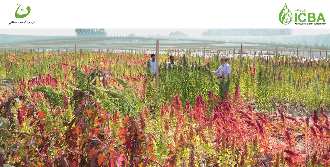 The initial activities under the initiative include distributing to local farmers about 70 tonnes of forages for livestock, produced from various crops like Salicornia, pearl millet, quinoa, and amaranth.
