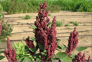 محصول مبشر لصالح الأمن الغذائي مستقبلاً في البيئات الهامشية