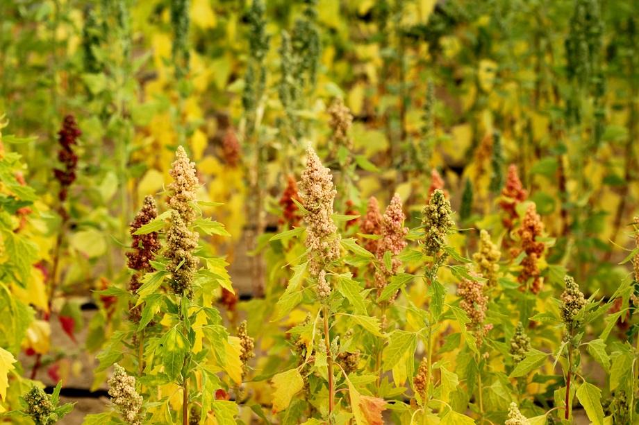 ICBA, Saudi Arabian university ink sponsorship deal for international quinoa conference