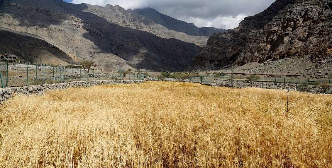 As part of the conservation of plant genetic resources in the UAE, ICBA conducts regular expeditions to different locations to collect some of the important indigenous species and store them in its genebank for the future. As a result of these efforts, scientists have been able to identify and study four local cereal varieties (one landrace of barley and three landraces of wheat) in the emirate of Ras al-Khaimah, preserve Halfa grass from possible extinction, and uncover and document eight plant species pre