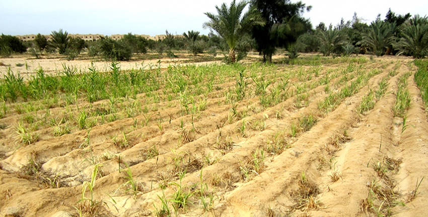 Model for seed production of resilient salt-tolerant crop species for Climate Smart Agriculture in Egypt