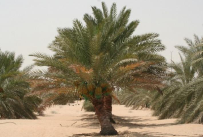 investigation of elite date palm for salt tolerance