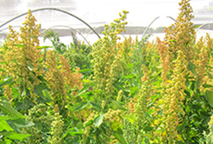 International Quinoa Conference