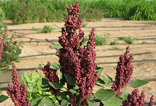 Quinoa for marginal environments: Towards future food and nutritional security