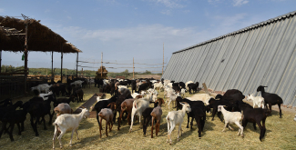 Every day more than four tonnes of milk produced by 160 cows and 300 goats is processed at the Pana Milk factory. He also owns 300 Gissar sheep and plans to acquire milk-producing sheep for making cheese.