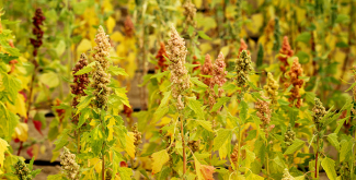 World Food Day: quinoa and hope of food security in marginal environments