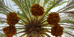 Call continues for international date palm, agricultural innovation award